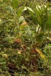 Persicaria senegalensis