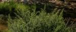Chenopodium ambrosioides