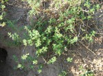 Chenopodium carinatum