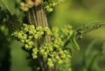 Chenopodium schraderianum
