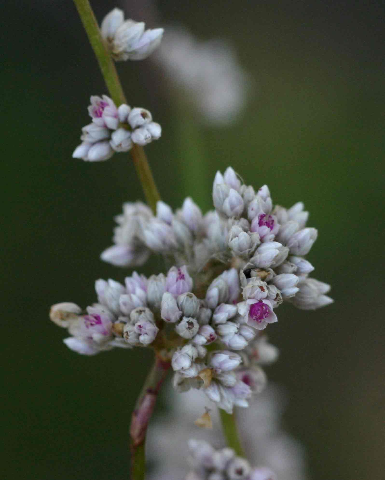 Celosia trigyna
