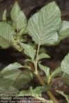 Amaranthus dubius