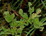 Amaranthus lividus subsp. polygonoides