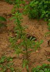 Amaranthus thunbergii