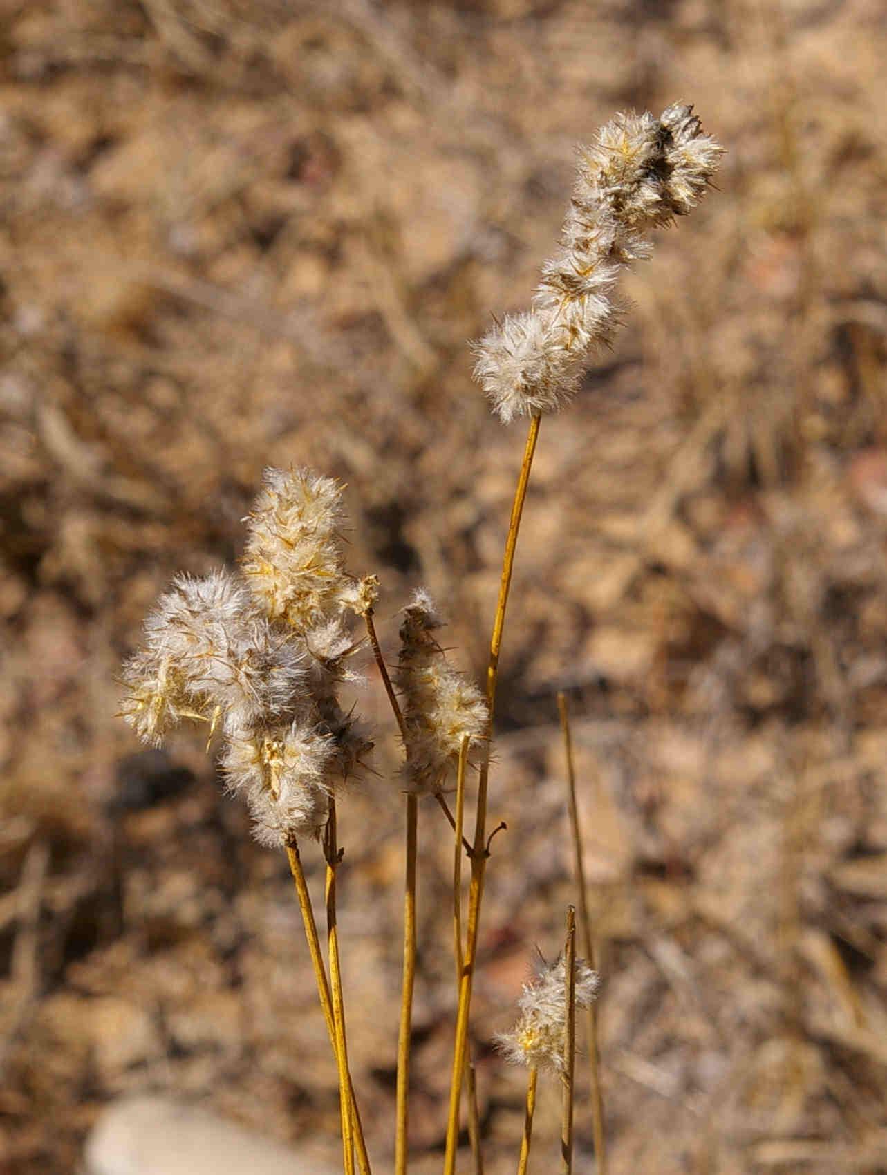 Kyphocarpa angustifolia
