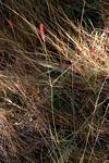 Centemopsis gracilenta