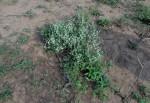 Cyathula lanceolata