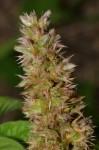 Cyathula orthacantha