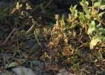 Nothosaerva brachiata