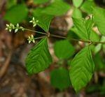 Psilotrichum scleranthum