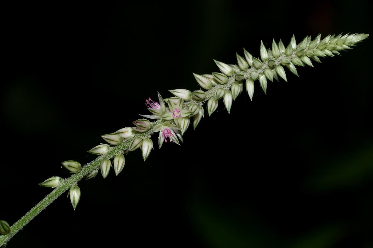 Achyranthes aspera var. pubescens
