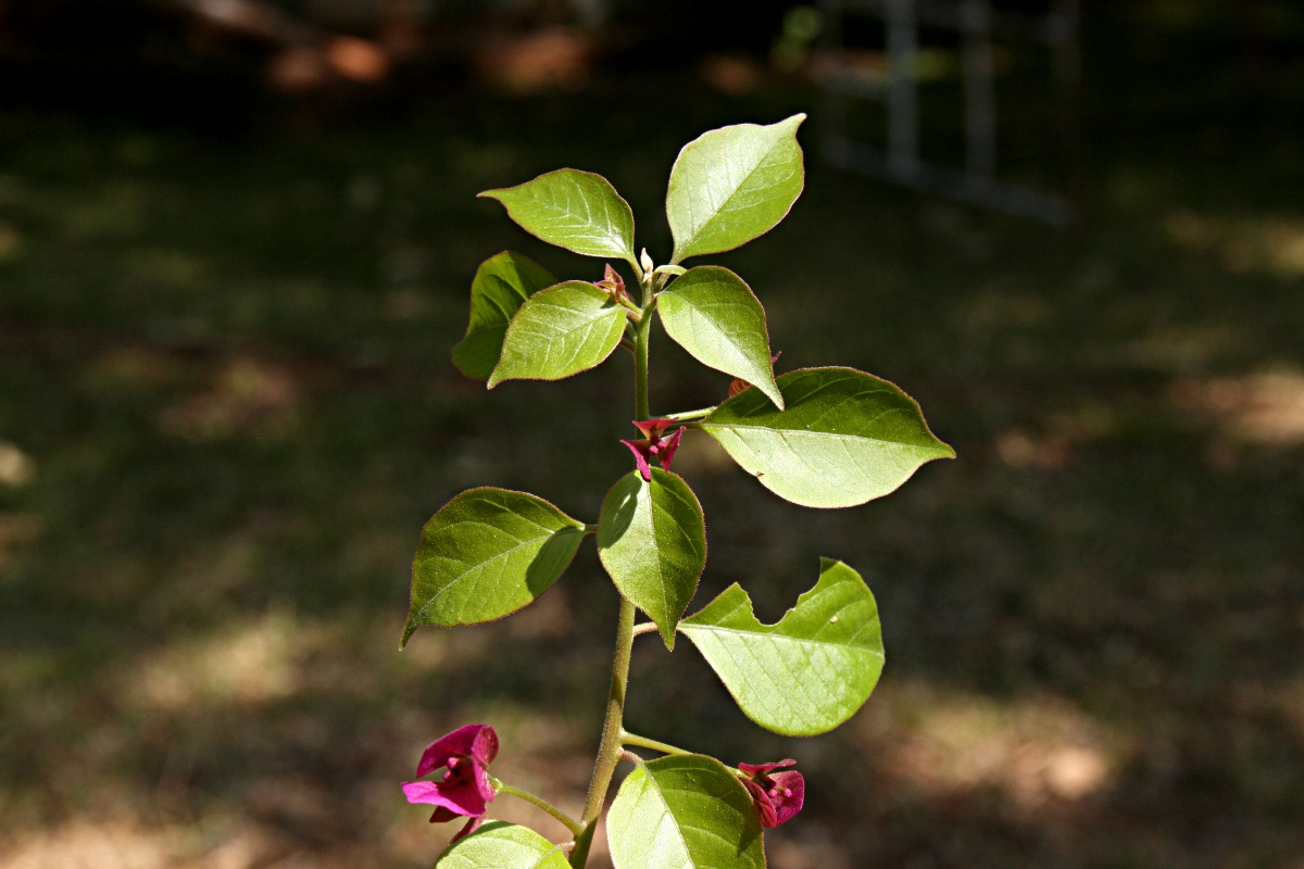 Bougainvillea sp. cultivar