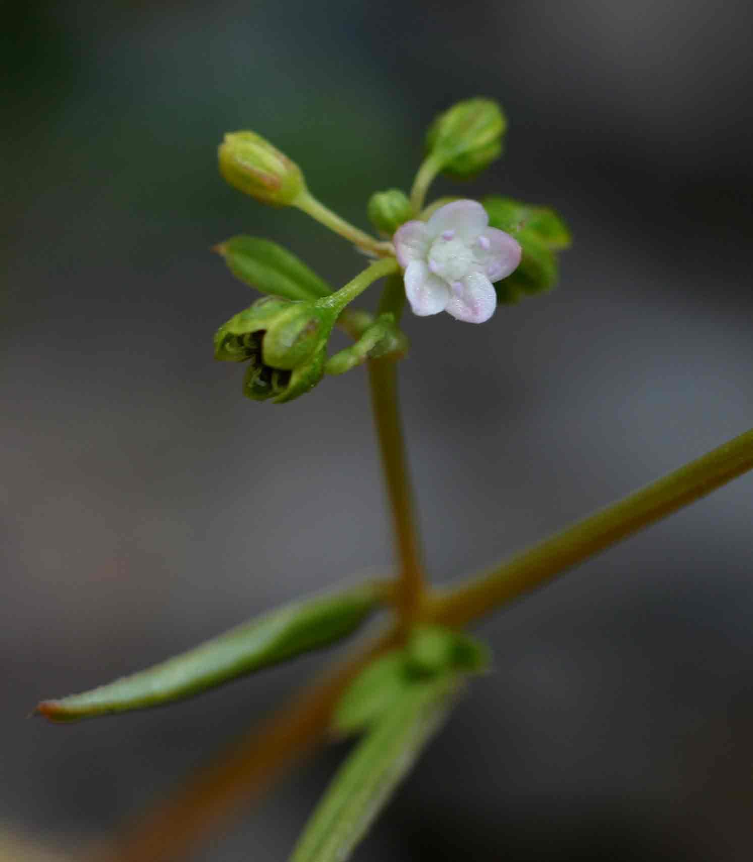 Gisekia pharnaceoides var. pharnaceoides