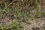Limeum fenestratum var. fenestratum