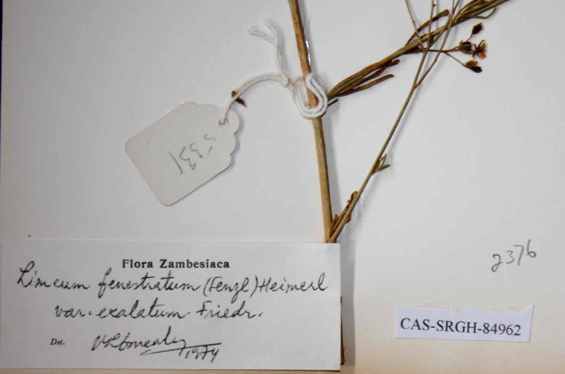 Limeum fenestratum var. exalatum