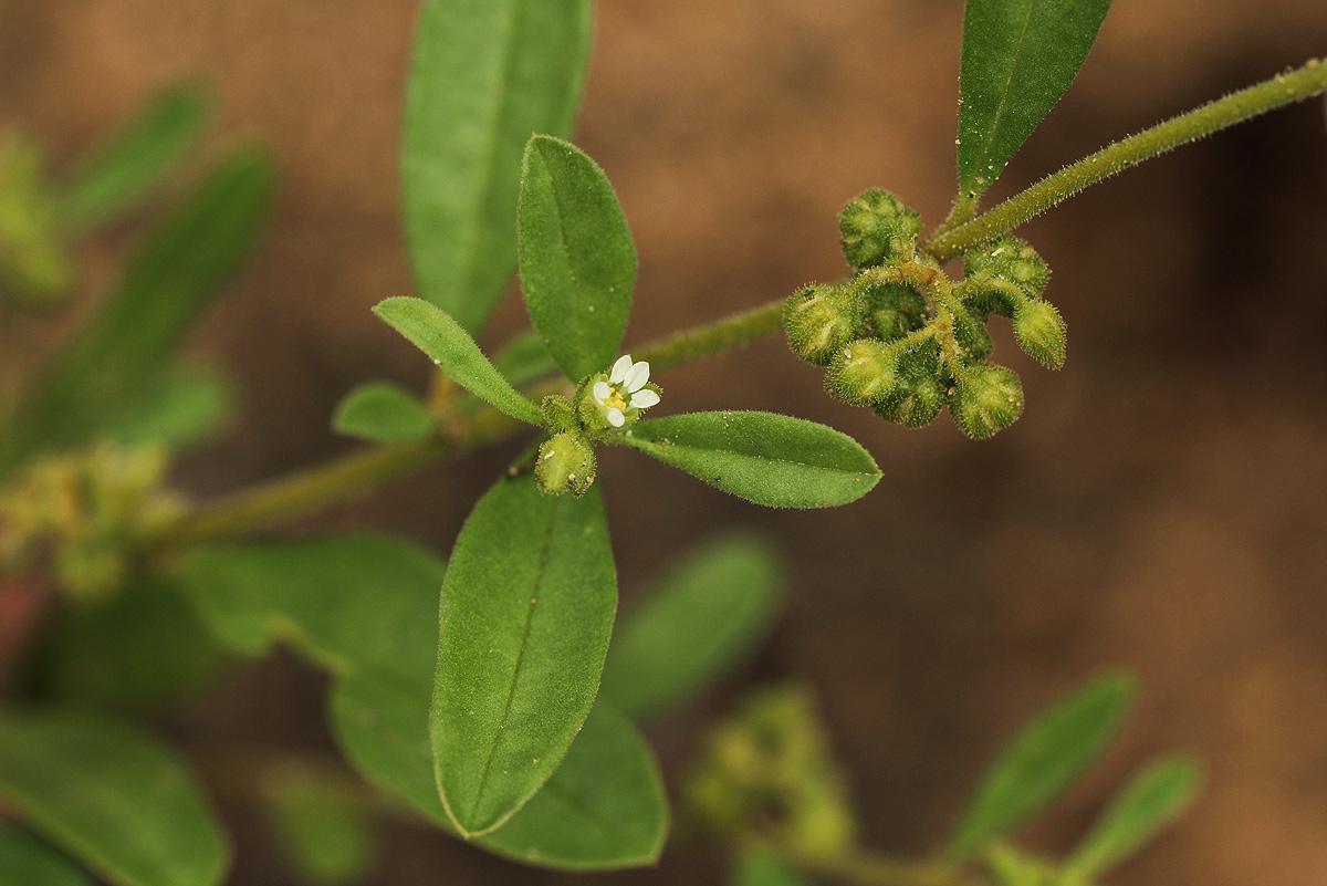 Limeum viscosum subsp. viscosum var. krausii