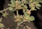 Glinus lotoides var. lotoides