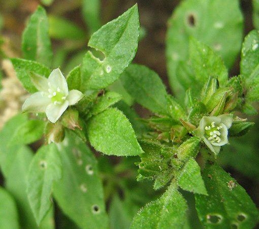 Glinus lotoides var. virens