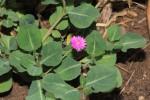 Corbichonia decumbens