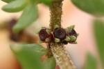 Trianthema triquetra