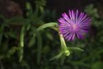 Delosperma mahonii