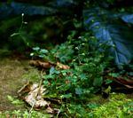 Stellaria mannii