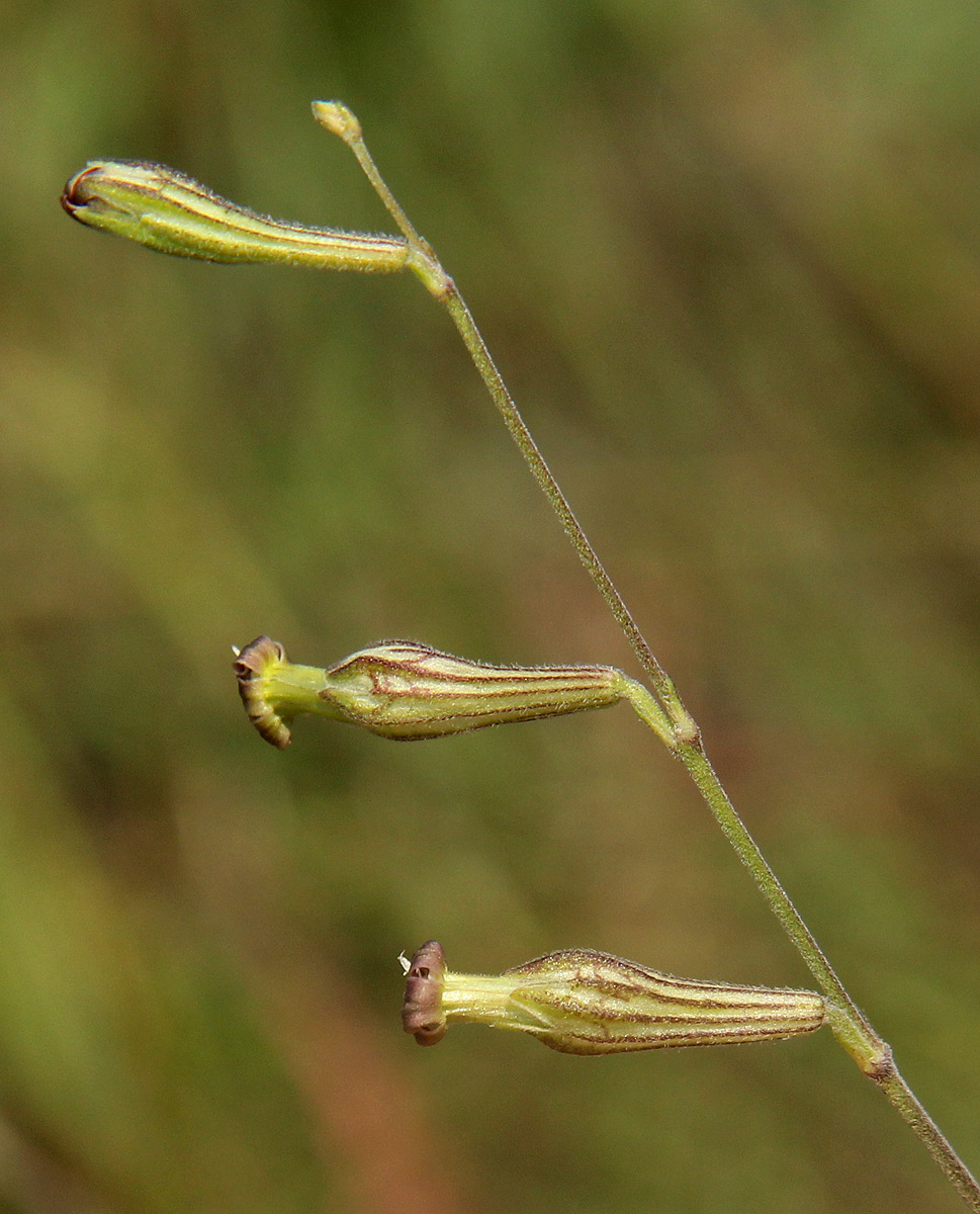 Silene burchellii var. angustifolia