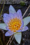 Nymphaea nouchali var. petersiana