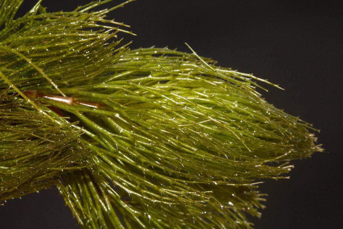 Ceratophyllum demersum var. demersum