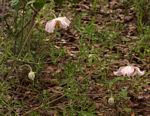 Clematis villosa subsp. stanleyi