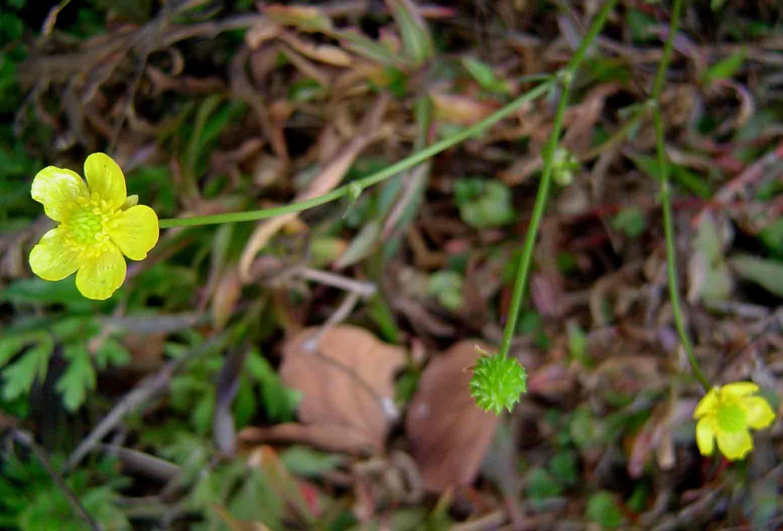 Ranunculus multifidus