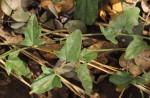 Cocculus hirsutus
