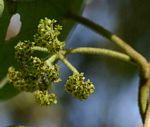 Stephania abyssinica var. tomentella