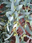 Antizoma angustifolia
