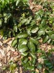 Tiliacora funifera