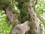 Flora de Zimbabwe: Información sobre la especie: Tiliacora funifera