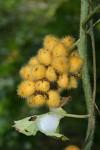 Jateorhiza palmata