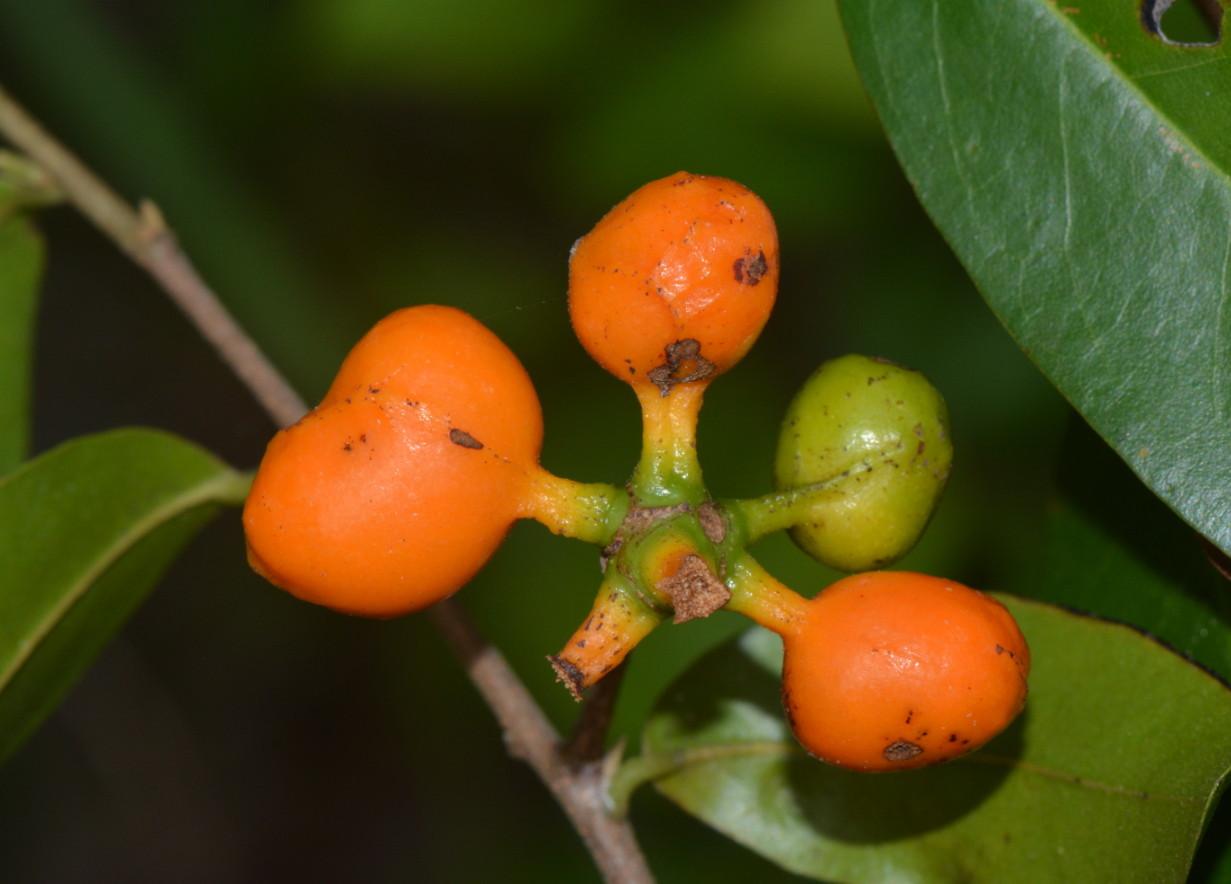 Uvaria gracilipes