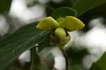 Friesodielsia obovata