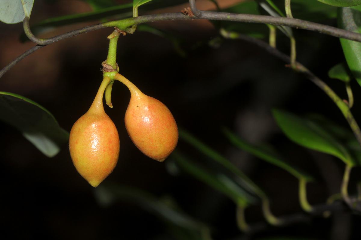 Monanthotaxis buchananii