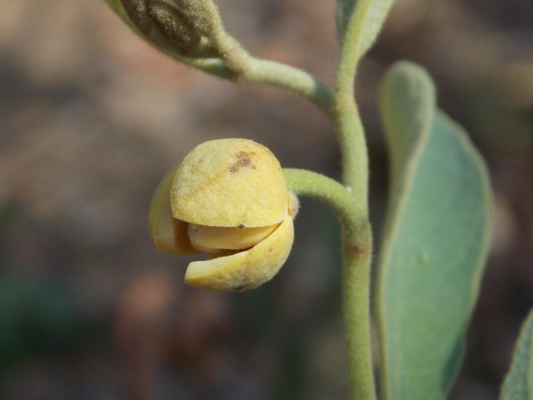 Annona stenophylla subsp. nana