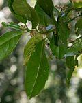 Xymalos monospora