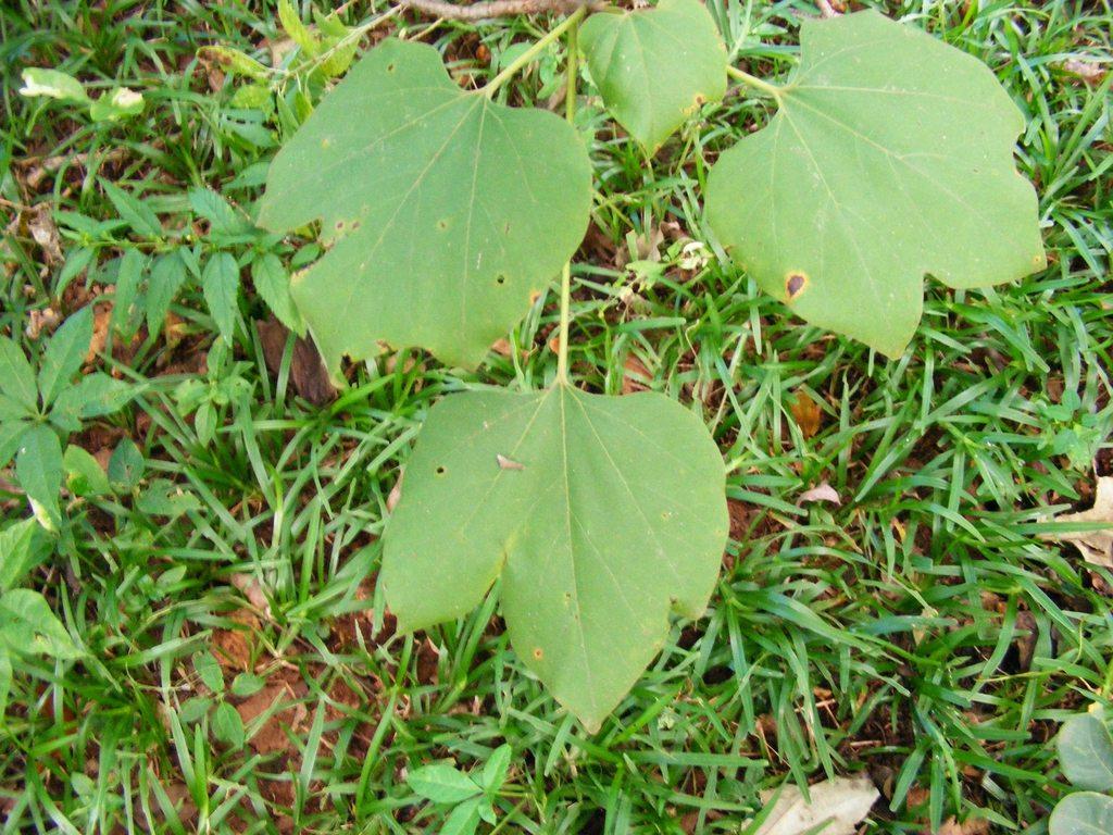 Gyrocarpus americanus subsp. africanus