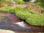 Rorippa nasturtium-aquaticum