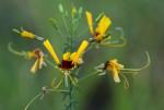 Cleome angustifolia subsp. diandra
