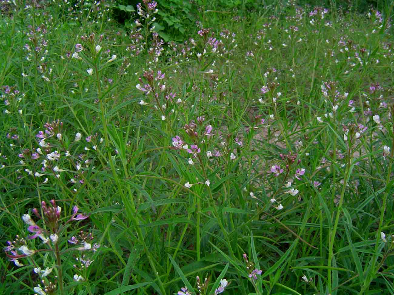 Cleome monophylla