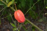 Capparis erythrocarpos var. rosea