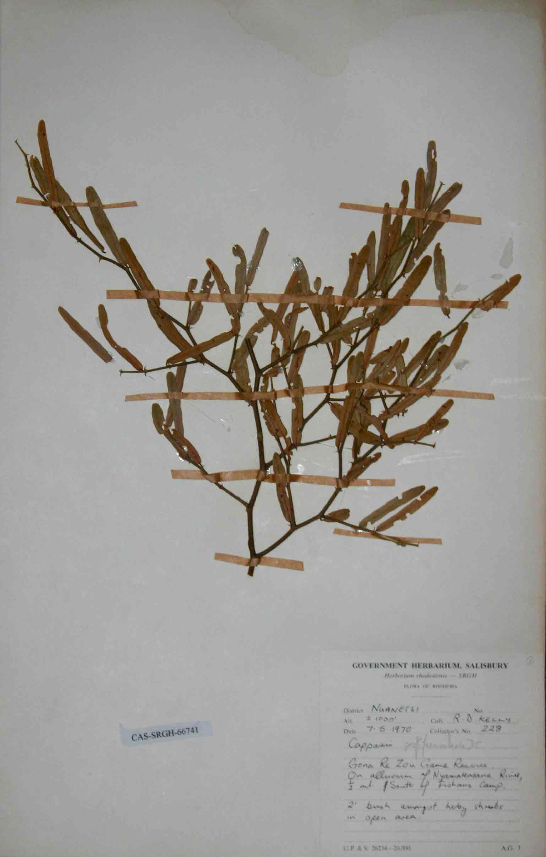 Capparis fascicularis var. fascicularis