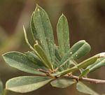 Boscia angustifolia var. corymbosa