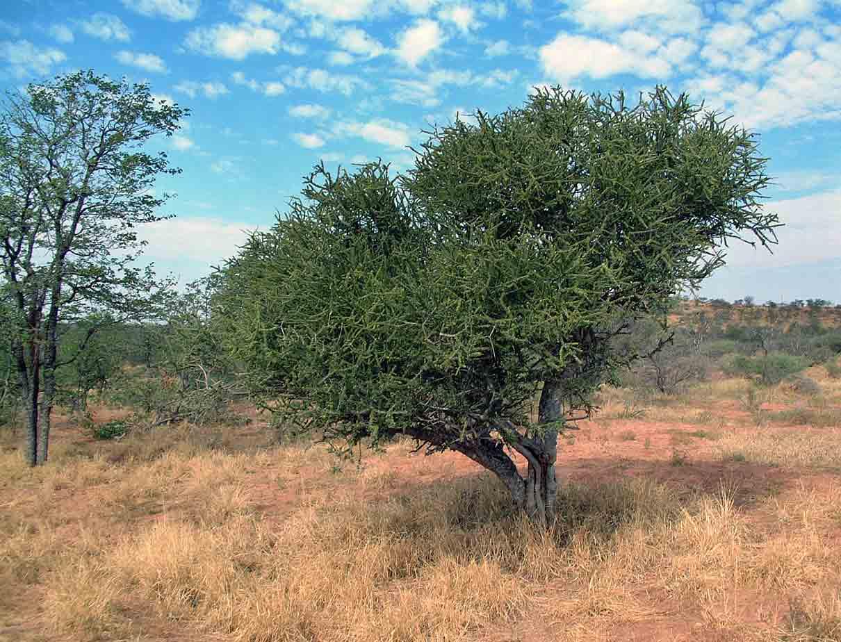 Boscia foetida subsp. rehmanniana